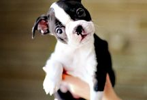 Boston Terrier / Boston Terriers / by Meanwhile InTexas