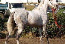 tersk horses