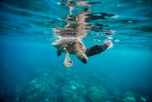 Turtles / Turtles that live in Hawaii