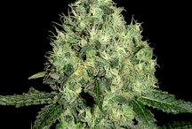 DNA Genetics Limited Collection / Collection of award winning Cannabis seeds from DNA Genetics. Order your souvenirs today from www.DNAGenetics.com