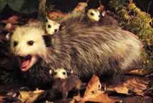 Our State Marsupial / Why Possums, Of Course!