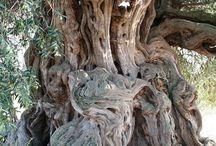 Anıt ağaçlar
