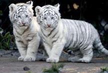 Isot kissaeläimet.