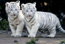 TIGER BABIES / Tiger im Welpenalter (als Babies)