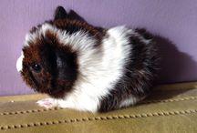 Guinea pig / Cuteness ❤️❤️❤️❤️❤️❤️