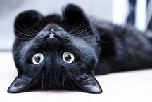 black cats / my little bombay cat Gwim and other cute or pretty black cats / by Rivka da Cat