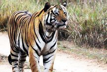 Save Our Tigers / Promote preservation of our tigers....