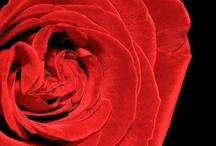 Red rosé  / Red rosé