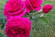 Rosen!Die Schönheit einer einzigen Blume besteht darin,mit einem einzigen Augenblick das Auge zum Verlieben zubringen und diese Liebe bleibt auf ewig!