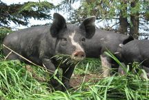 Heritage Pigs / Old breeds of pork bread for their fat quality and quantity.