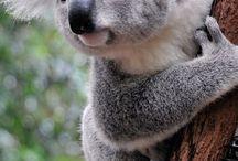 Animals: Australia