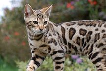 Katter - Cats