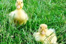 Urban Ducks