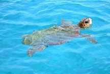 Zante (Zakinthos) / ...where you meet Caretta Caretta Loggerhead sea turtles!