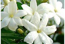 Jasmine / Favourite Flowers / by Savarna
