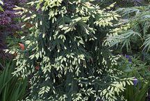 Picea orientalis-Keleti luc (kaukázusi)