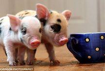 Pigs<3