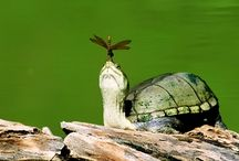 Turtles / Turtles around the world  / by Mary Costello