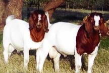 Boer Goats / by TXBoerGoatBreeders