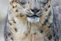 Ounce. Snow leopard. Ирбис