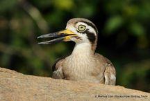 Southern India Birding Tour