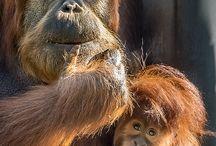Orangutans / Orangutans: Beautiful, important, and endangered.