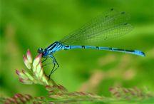 dragonflies / by Annetta Gregory Art