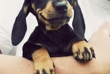 Dachshunds & Pups / by Gavin Skeels