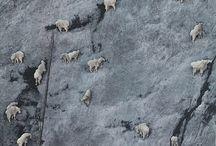 Capricorn / Ibex, Mountain goats, Sheeps