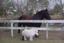 mini horses ❤ / I need a mini horse at the new farm y'all!