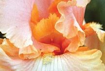 Irises / by Lazara Arriola