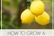 Growing a lemon tree
