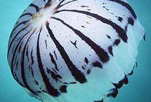 zebra striper