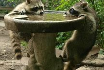 Rambunctious Raccoons