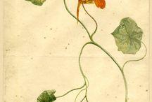 Drawing design disegno watercolor / Botanique