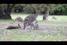 Australian Wildlife / Un viaggio attraverso il mondo animale, acquatico e terrestre, del continente Australiano!!