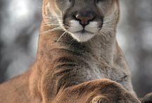 Puma oder Berglöwe