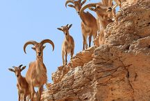 ANIMALS:  GOATS #1 IBEXES, MARKHORS / by Suzanne V Morgan