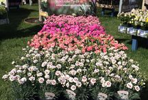 Our Pinks Around the World / Wonderful Whetman Pinks in all their varied glory