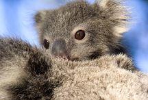 koala's so cute