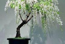 Bonsai / Gardening