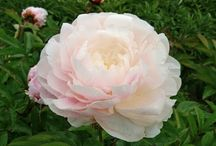 Peonies for cut flowers / A selection of peonies that are good for cutting