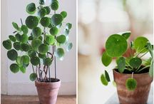 Plants - indoor / Popular plants, decorating with plants, green decore, cactuses, suculents, easycare plants, plants I want inside, favourite plants, green living, better air indoors, interiour plants.
