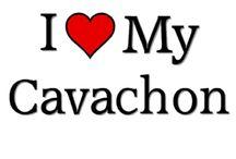 Cavachon Love