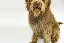 """Labradoodle / A Labradoodle is a mixed-breed dog created by crossing the Labrador Retriever and the Standard or Miniature Poodle. The first known use of the term """"Labradoodle"""" was by Sir Donald Campbell to describe his Labrador/Poodle cross dog in his 1955 book, """"Into the Water Barrier"""". - See more at: http://www.noahsdogs.com/m/dogs/breed/Labradoodle#sthash.Ig5MroUd.dpuf"""