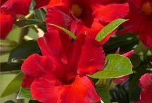 flowers Dipladenia Sundaville Crimson King