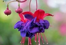 Fuchsia's / by Julianne Bingham