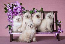 Ragdolls / My favorite cats
