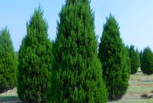 Evergreen Trees / Our evergreen trees range in sizes from 6' - 34' tall. Visit our website for more information and to view all sizes, www.huntertrees.com