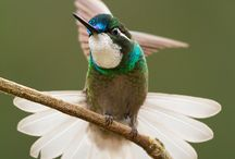 White-throated Mountain-gem : Lampornis castaneoventris